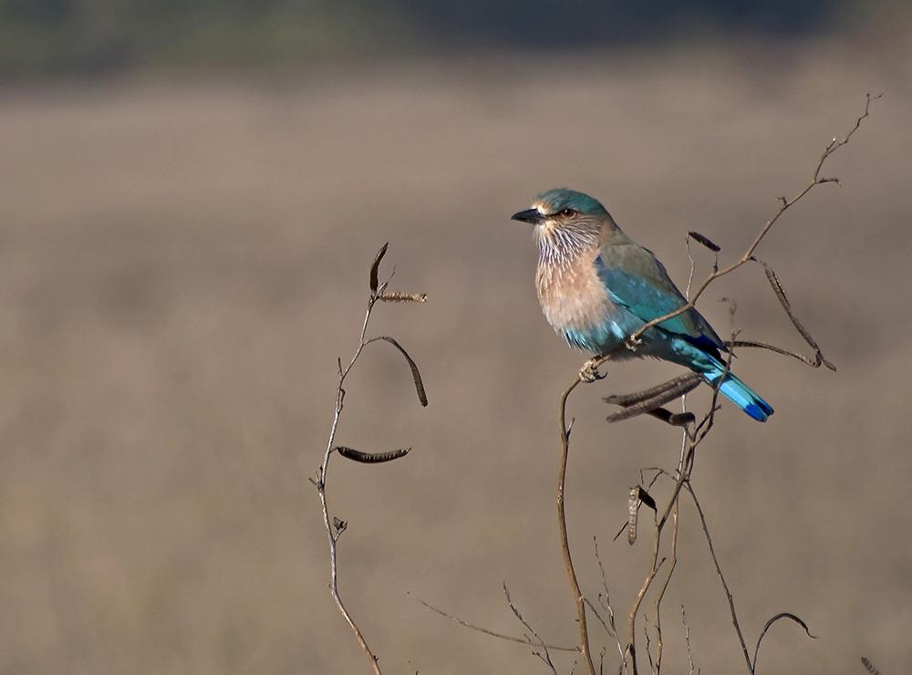 Bandhavgarh Indisk blåkråka