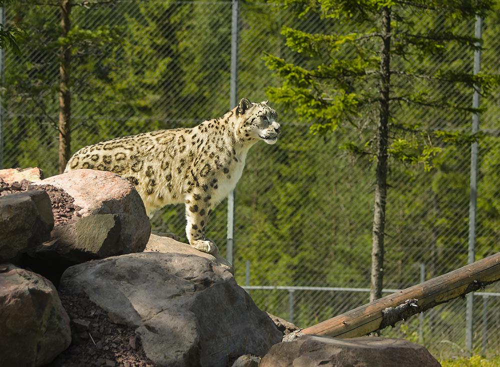 Snöleopard, Orsa Björnpark