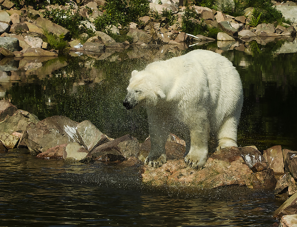 Isbjörn, Orsa Björnpark