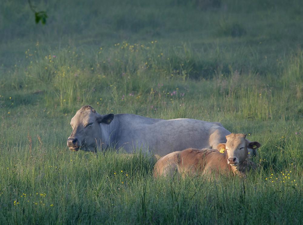Kor i gryningsljus