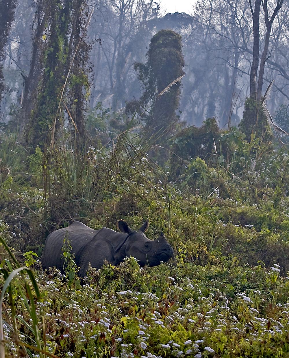 Chitwan nationalpark: pansarnoshörning