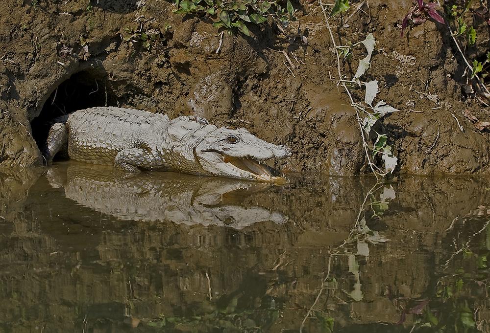Chitwan nationalpark: Sumpkrokodil