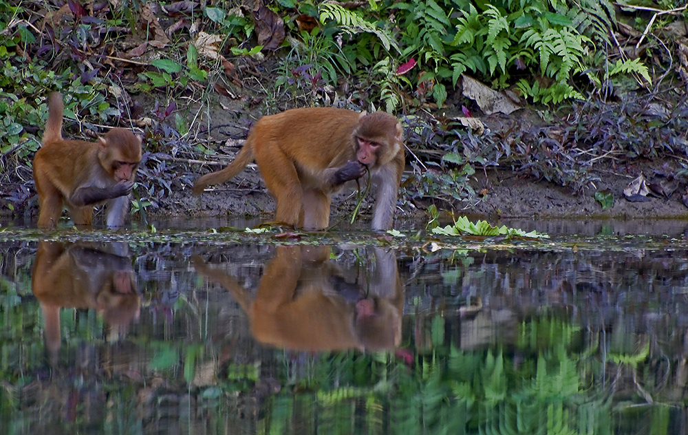 Chitwan nationalpark - Rhesusmakaker