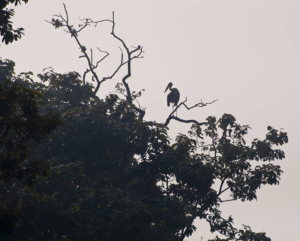 Chitwan nationalpark: Adjutantstork