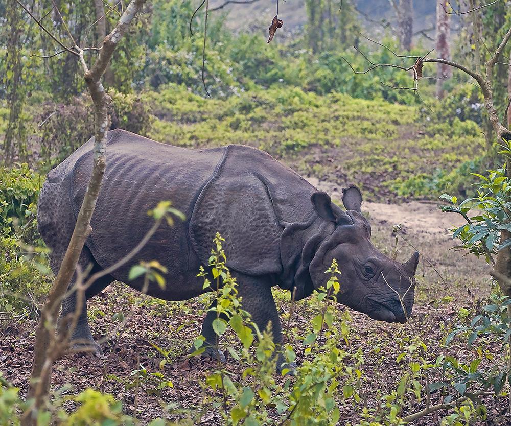 Indisk pansarnoshörning (Rhinoceros unicornis)