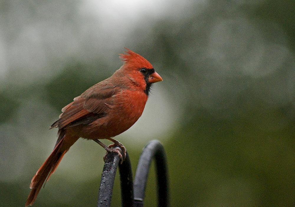Kanada Ottawa Kardinalfågel