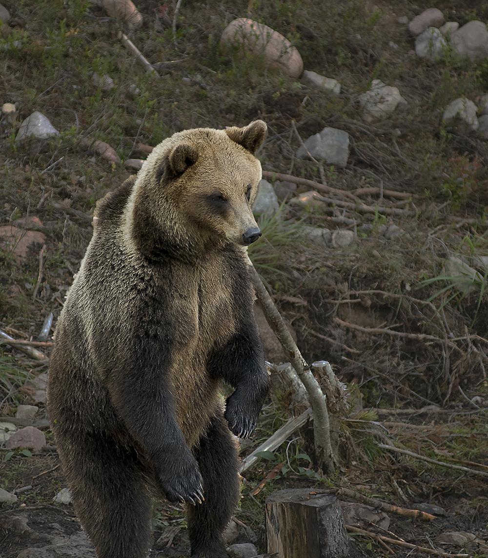 Brunbjörn, Orsa Björnpark