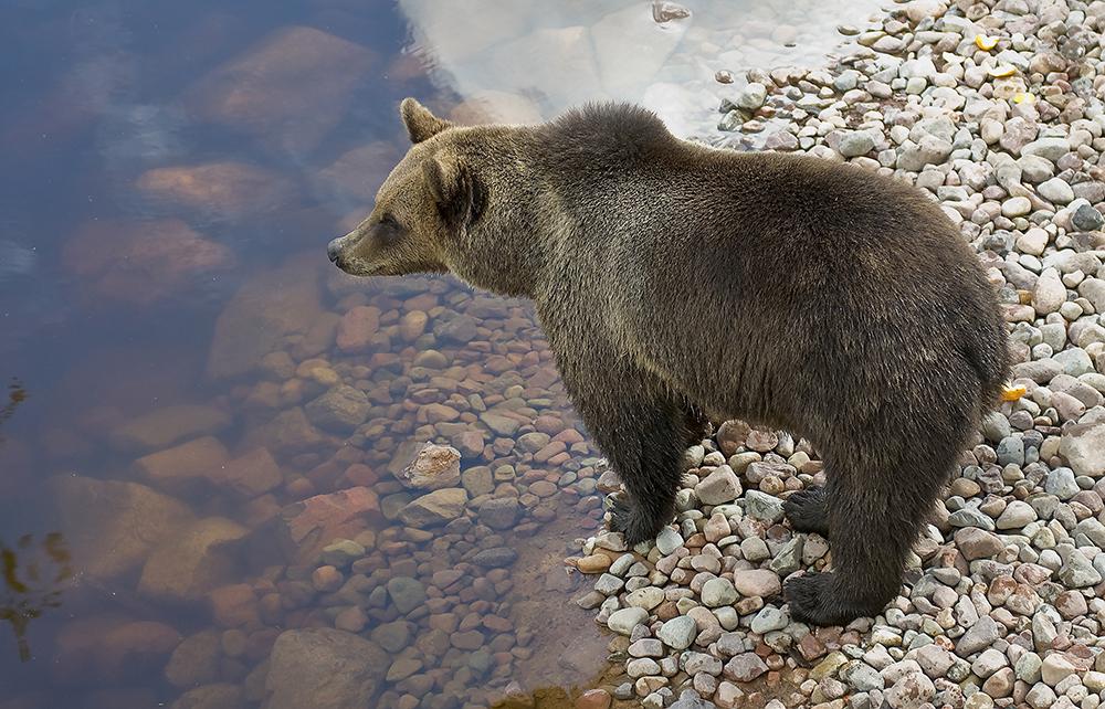 Brunbjörn Orsa Björnpark