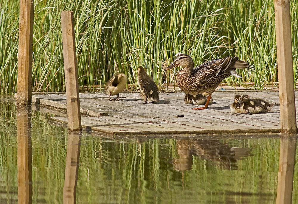 Gräsandshona med ungar