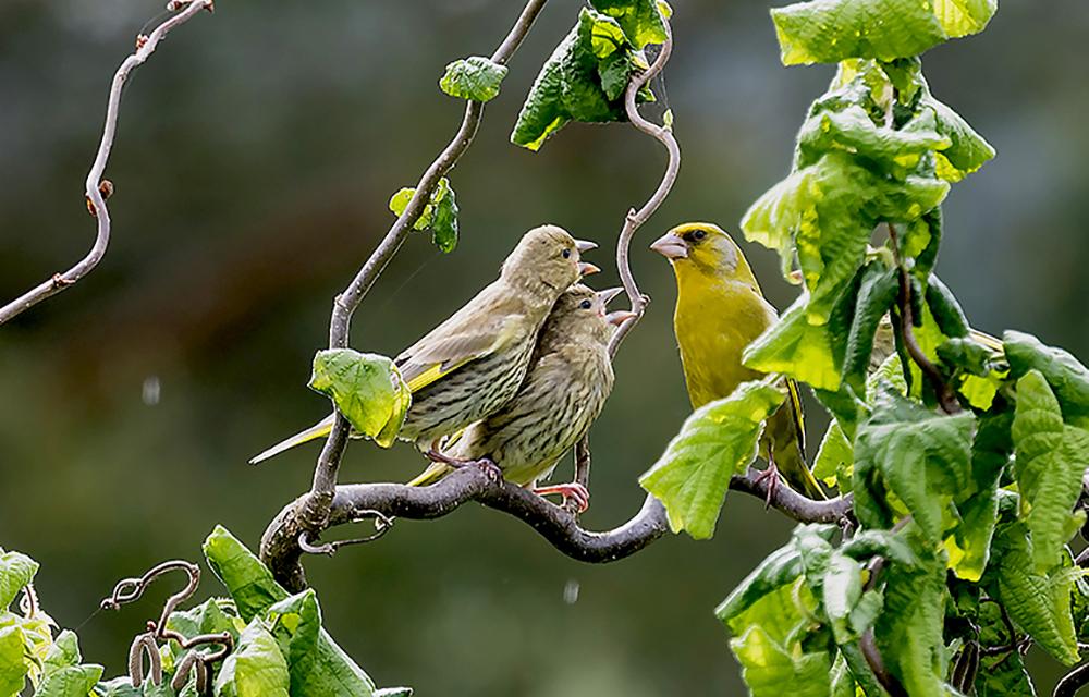 Grönfink