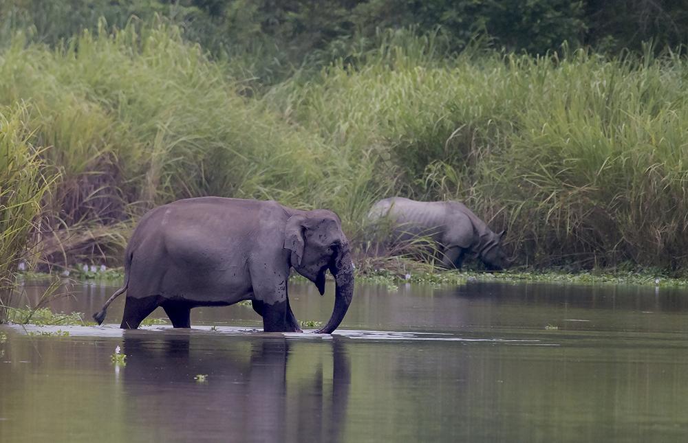 Kaziranga Elefant och pansarnoshörning