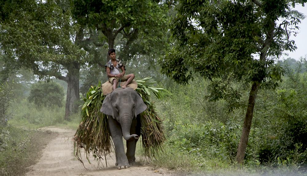 Kaziranga tam elefant