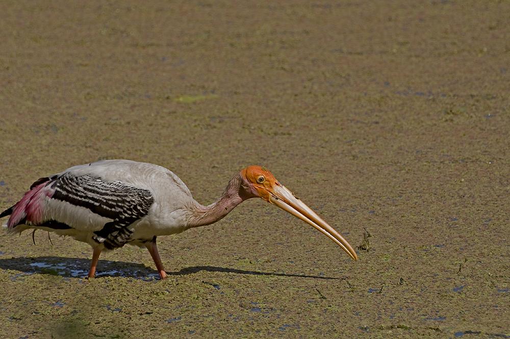 Orientalisk ibisstork (Mycteria leucocephala)