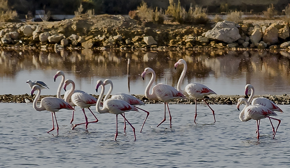 Portugal Faro: Flamingos
