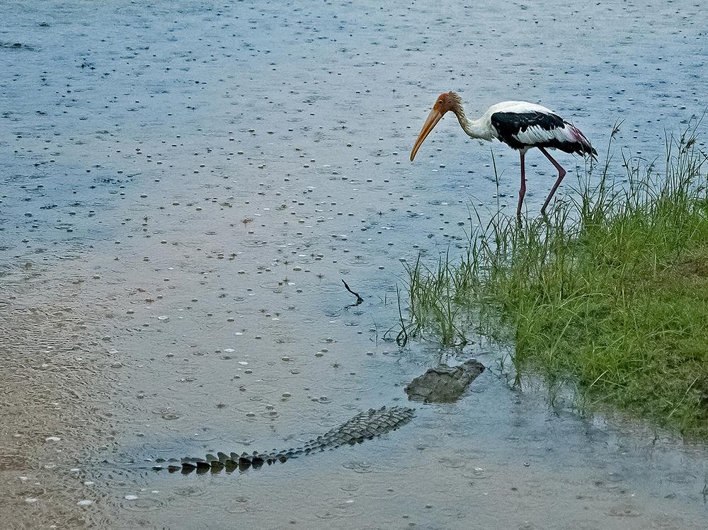 Orientalisk ibisstork/Painted Stork (Mycteria leucocephala) + krokodil