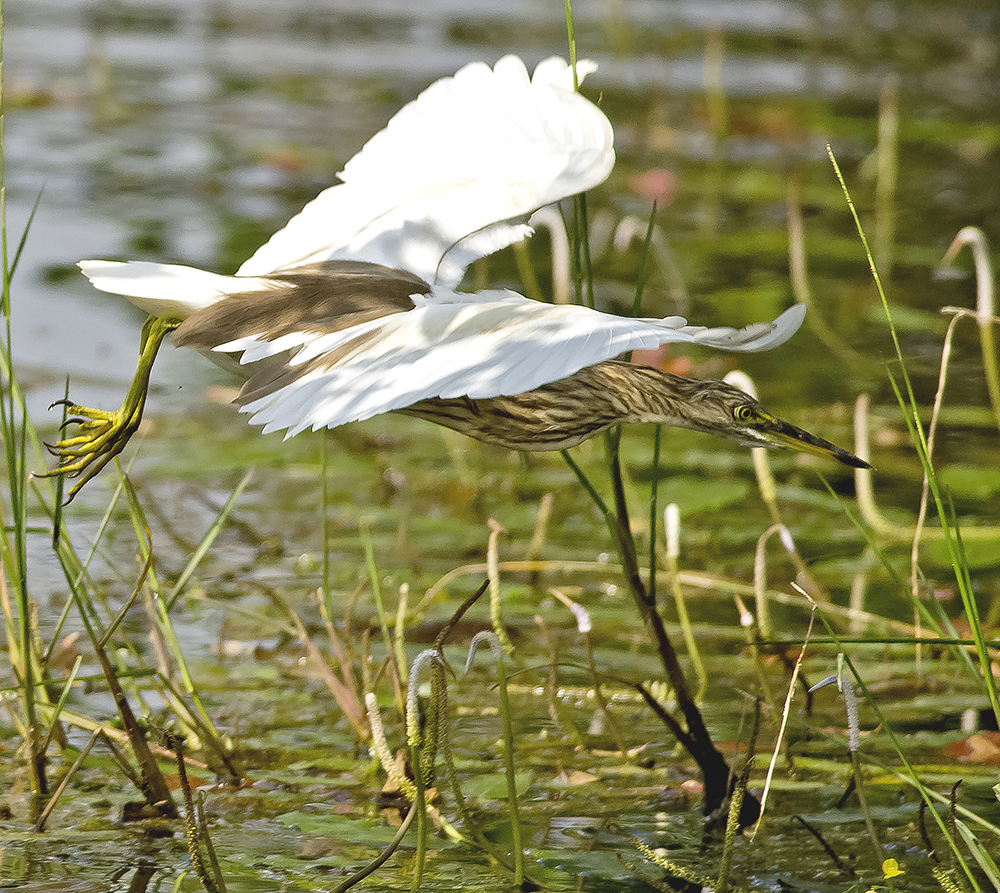 Rishäger/ Indian Pond Heron or Paddybird (Ardeola grayii)