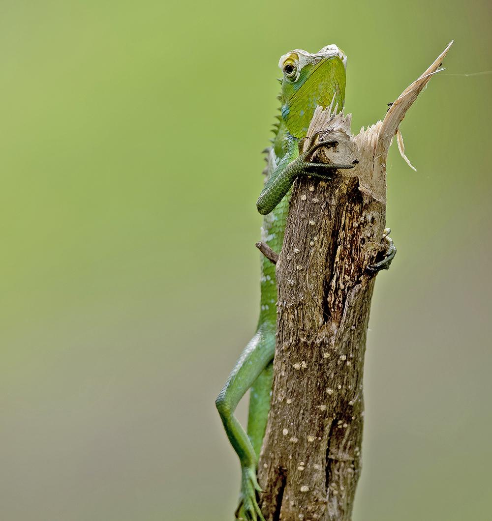 Sri Lanka: Gröna kameleont