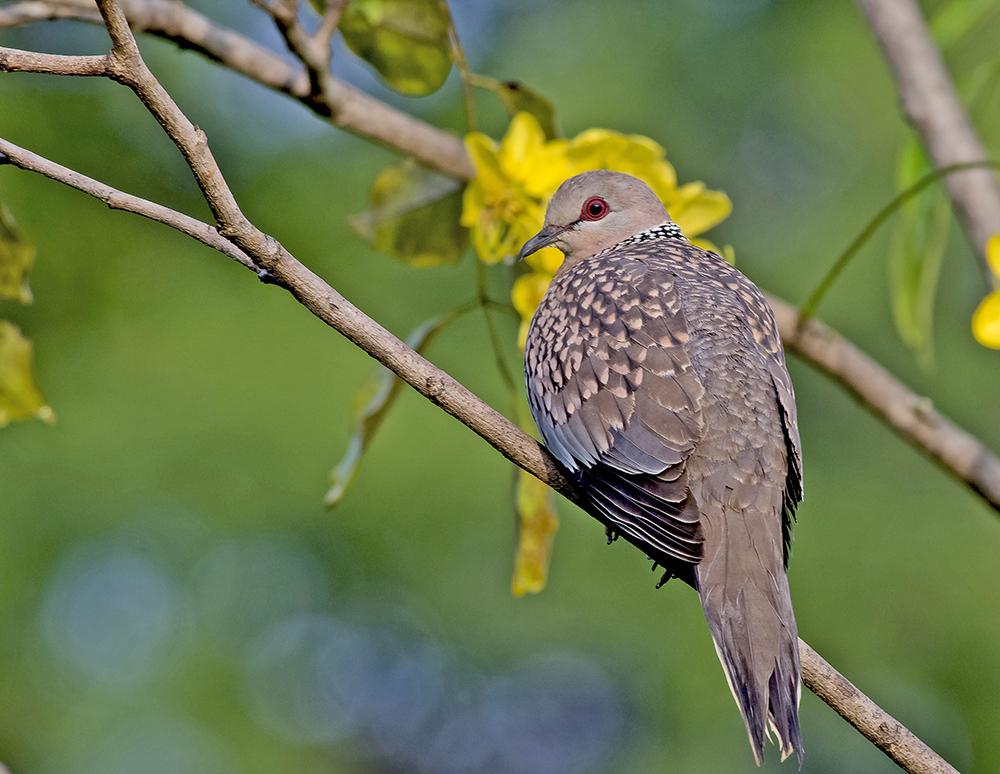 Pärlhalsduva / Spotted Dove ( Streptopelia chinensis )