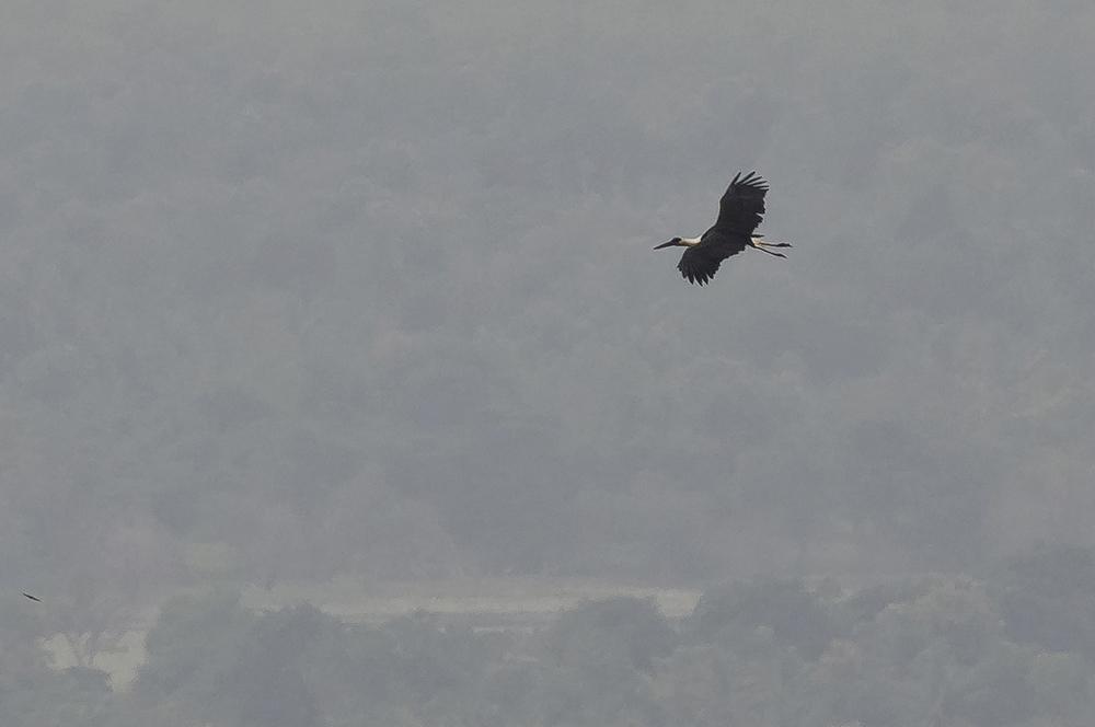 Ullhalsstork/Woolly-necked Stork