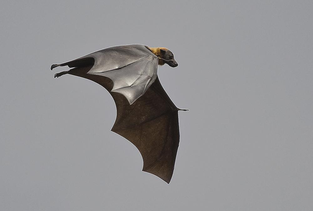 Sri Lanka: Flygande räv