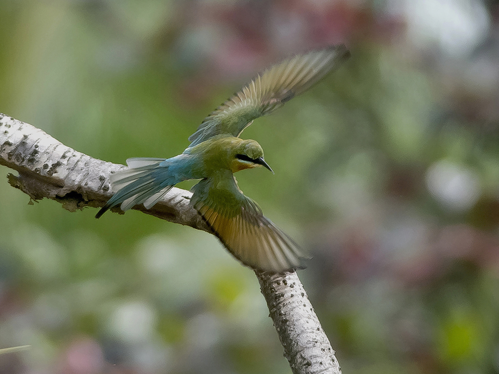 Blåkindad biätare/Blue-ckeeked bee-eater (merops persicus)