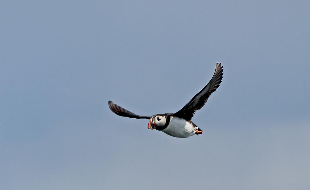 Island Reykjavik Lunnefågel