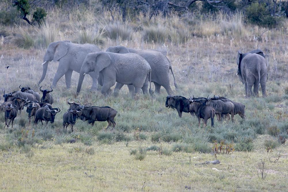 Elefant_gnu2