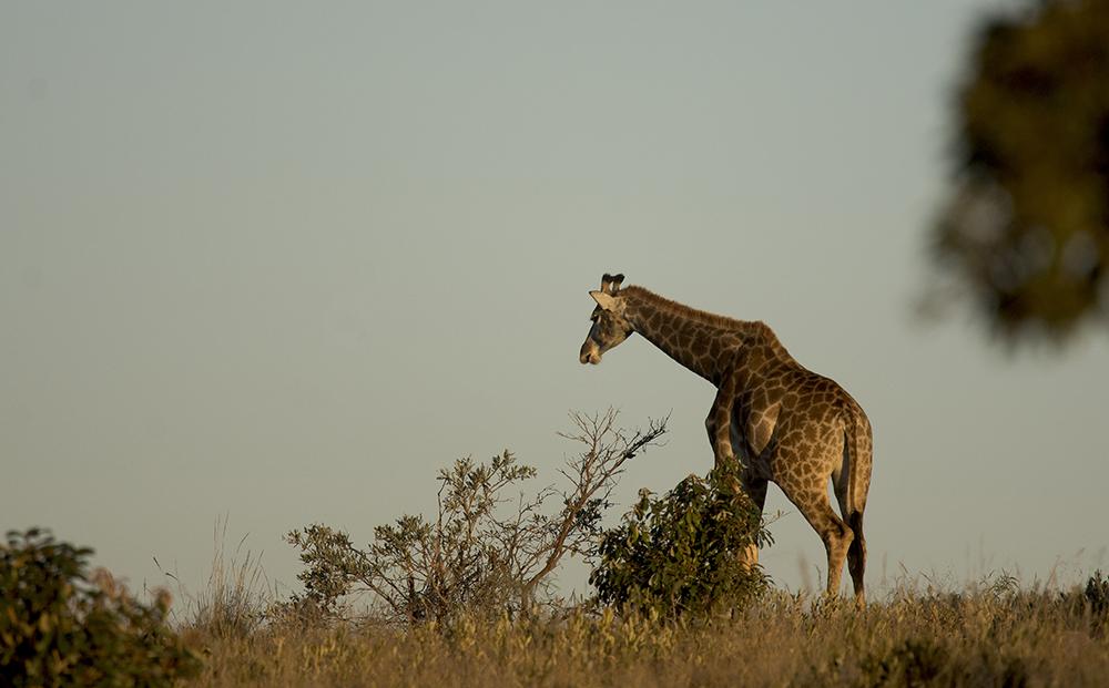 Giraff4