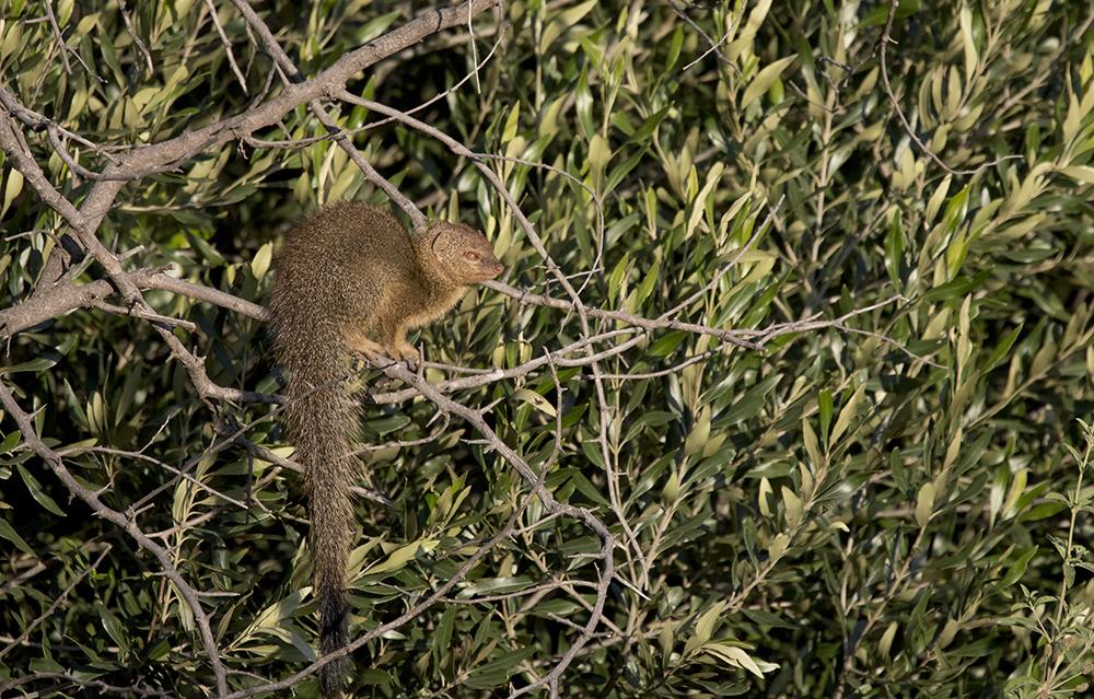 Slank mangust